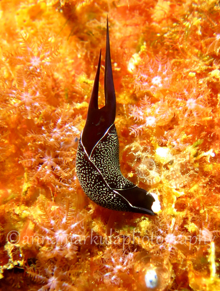Chelidonura_inornata_soft_coral-