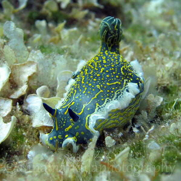 hypselodoris_picta Croatia underwater