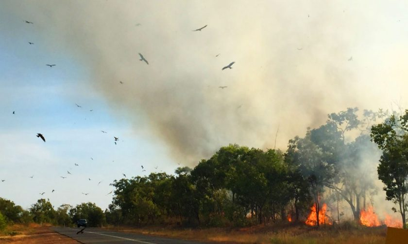 Birds feeding over forest fire