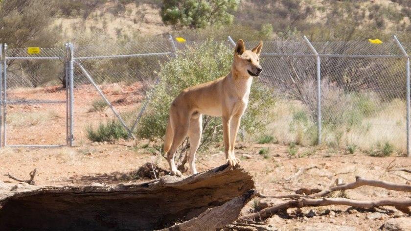 A young Dingo posing