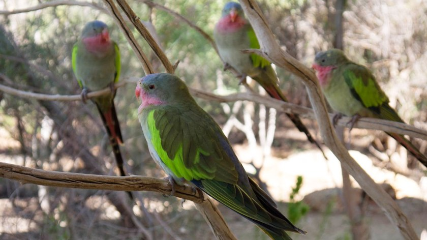 A family of Pricess Parrot