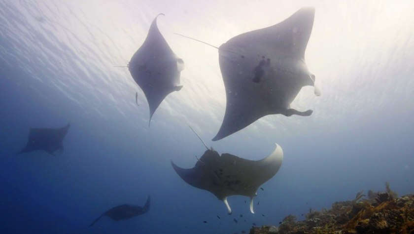So many mantas at Manta Ridge in Raja Ampat
