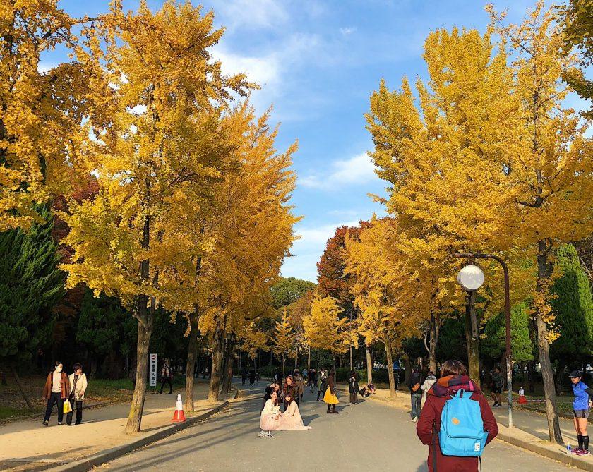 Yellow Ginko tree at Osaka Castle Park
