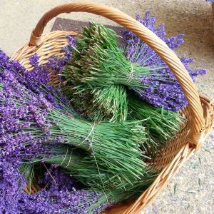 lavender vs lavandin