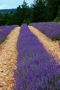 Provence Lavender Season -The Lavender Fields of Provence