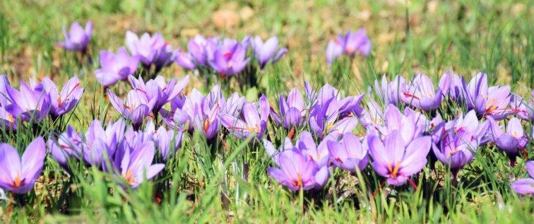 French Saffron - Provence - Marseille - Cooking with Saffron