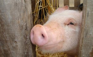 Friday Fun Facts Challenge - PIg