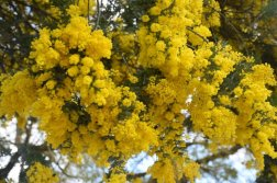 Mimosa Photo Gallery - Blooms