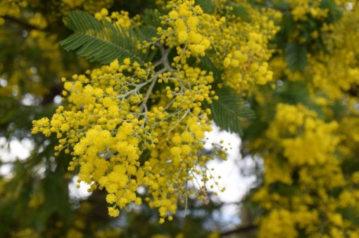 Mimosa Photo Gallery - bloom
