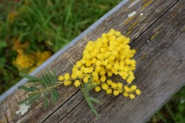 Mimosa Photo Gallery - tiny bouquet
