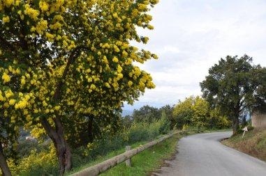 Mimosa Photo Gallery - Roadside
