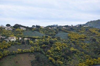 Mimosa Photo Gallery - Landscape