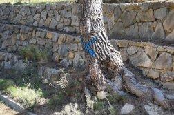 Provence's Blue Coast - tree marked with X