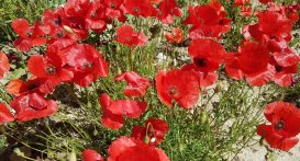 Coquelicot - Scarlet red corn poppies (popaver rhoeas)