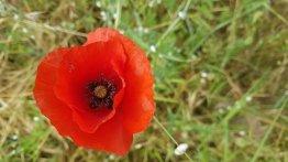 Scarlet red corn poppies (popaver rhoeas)