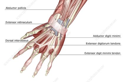 A posterior view of the muscles of the left hand.