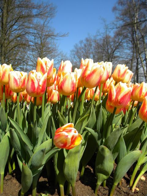 amsterdam-tulips-1