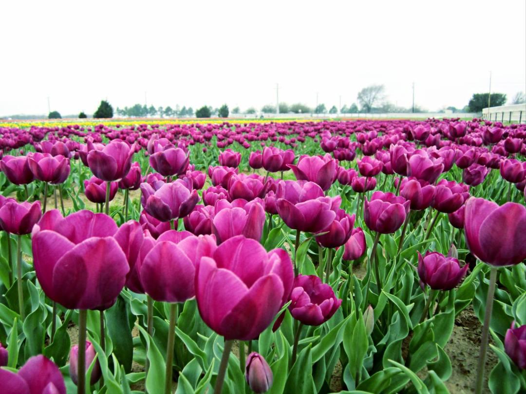texas-tulips-1