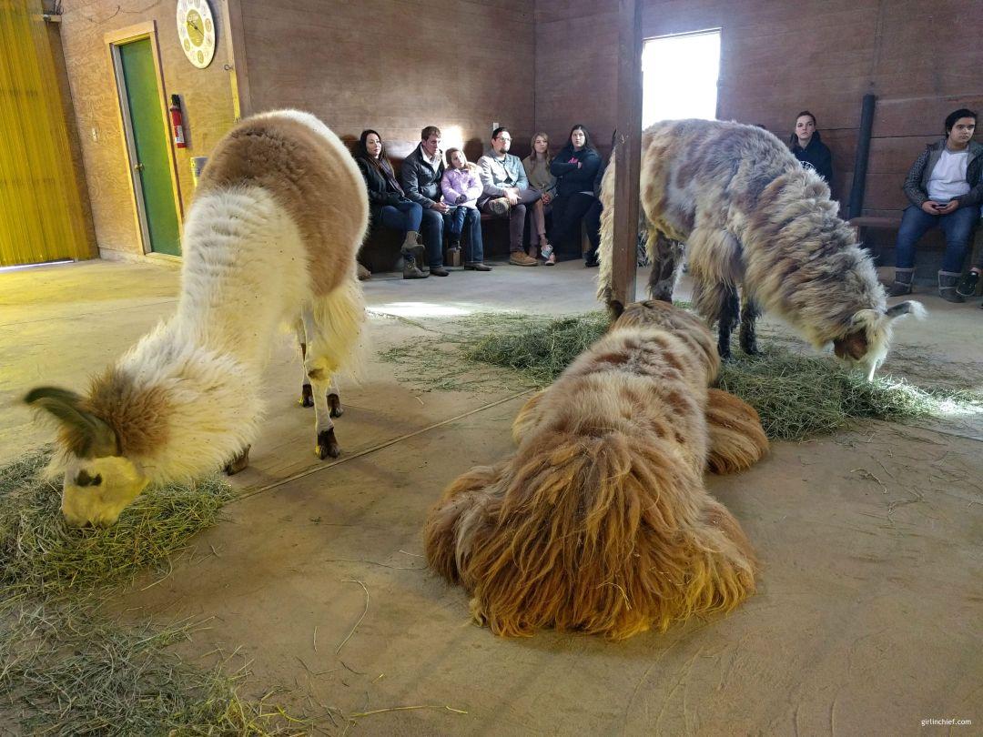 Llama Lessons at ShangriLlama