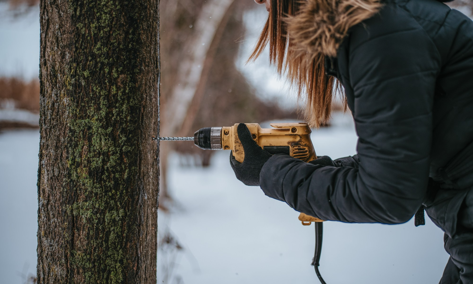 Drilling hole into maple tree
