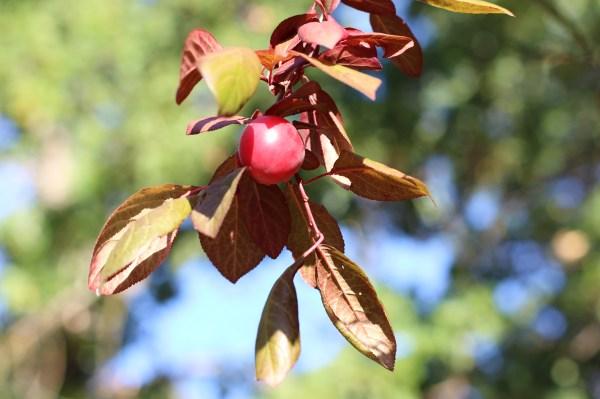 cherry plum www.girlontherange.com