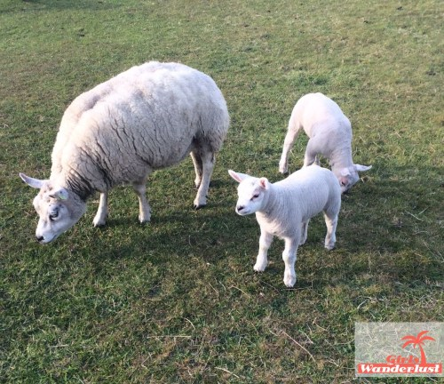 Top 10 things to do in Texel – The Netherlands (including map).sheep1