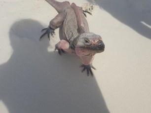 Iguanas in Exumas