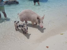 Pigs of Exuma