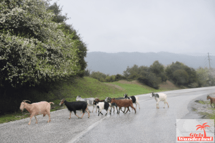 Goats crossing the street