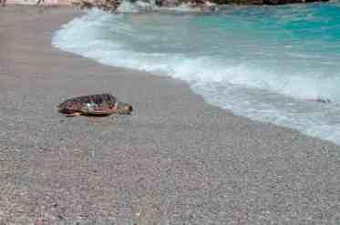 loggerhead turtle crawling on beach into the water