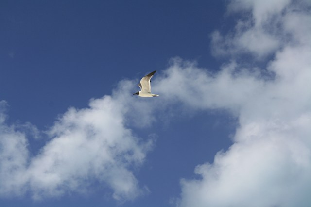 Bahamas Discovery Quest - Seagull