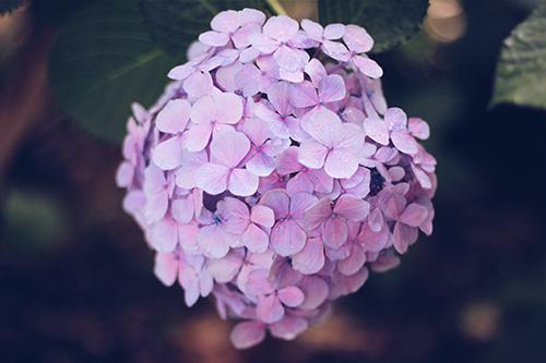 「しずく」「梅雨」「紫陽花」「花」などがテーマのフリー写真画像