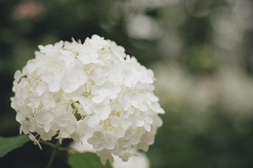 「傘」「女性・女の子」「巻き髪」「梅雨」「紫陽花」「花」などがテーマのフリー写真画像