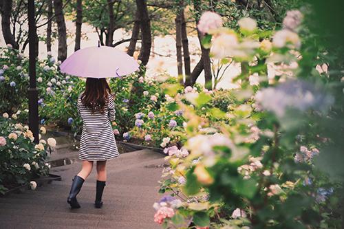 咲き乱れた紫陽花(あじさい)の中を歩いて行く女の子
