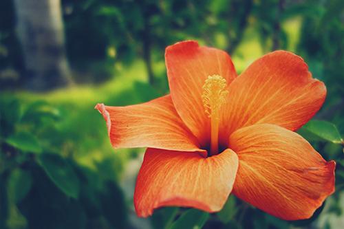 「ハイビスカス」「南国」「夏」「植物」「花」などがテーマのフリー写真画像
