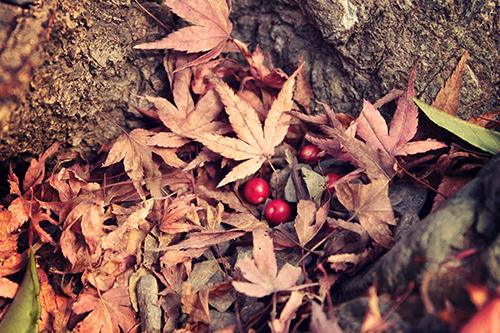 「モミジ」「文字入り」「枯れ葉」「植物」「紅葉」「落ち葉」「赤い実」などがテーマのフリー写真画像