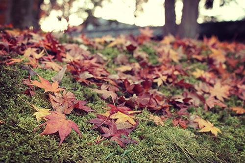 どこか切ない芝生に降り積もる紅葉