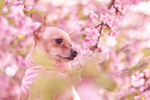 桜に囲まれてキョロキョロしている可愛い犬