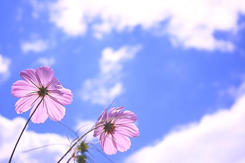 「コスモス」「秋」「空」「花」などがテーマのフリー写真画像