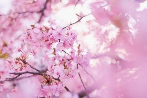 低い気温の中で美しく花開いた早咲きの桜