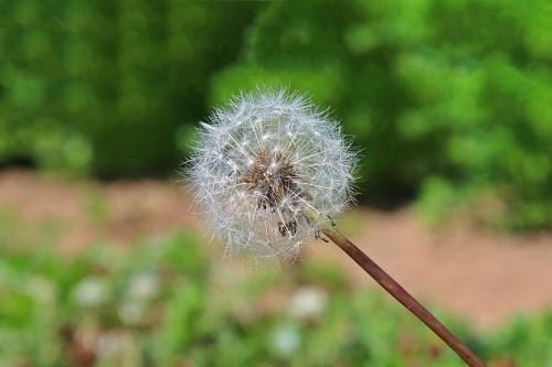 「タンポポ」「春」「植物」「花」などがテーマのフリー写真画像