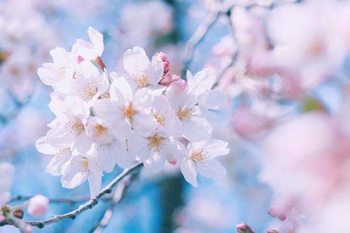 「桜 写真 フリー」の画像検索結果