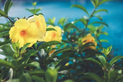 「コルディリネ」「夏」「宮古島」「植物」「沖縄」「離島」などがテーマのフリー写真画像