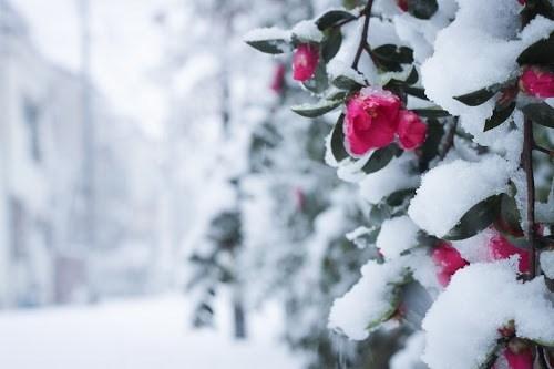 しんしんと雪が降り積もる椿の花