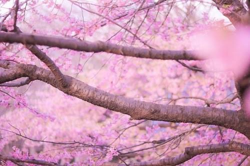 「春」「桜」「花」などがテーマのフリー写真画像