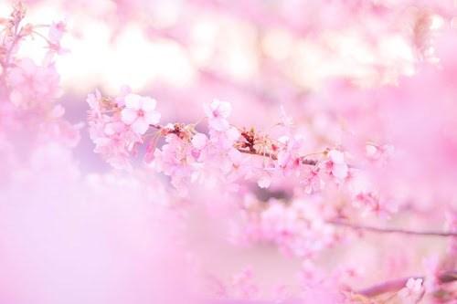 フリー写真素材:空が美しい夕焼けに染まる頃の少し神秘的な桜の木