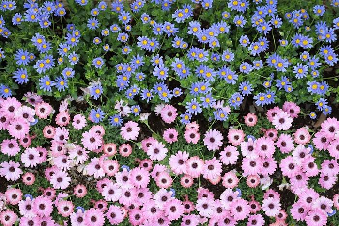 「オステオスペルマム」「デイジー」「公園」「文字入り」「花」などがテーマのフリー写真画像