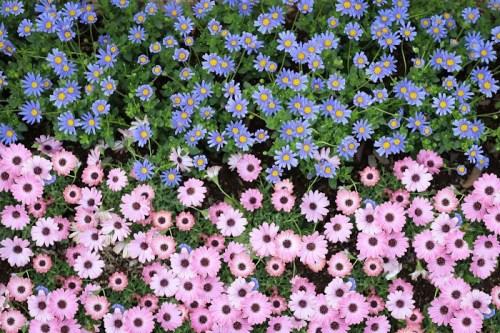 「オステオスペルマム」「デイジー」「俯瞰撮り」「公園」「真上から」「花」などがテーマのフリー写真画像