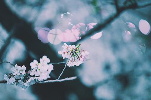 フリー写真素材:冷たい夜の空気の中で立派に咲いている桜の花