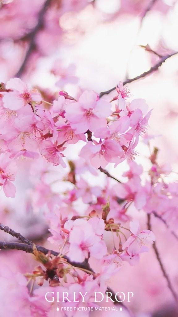 おしゃれなフリーのスマホ壁紙(待受け):【おしゃれなiPhone壁紙】低い気温の中で美しく花開いた早咲きの桜